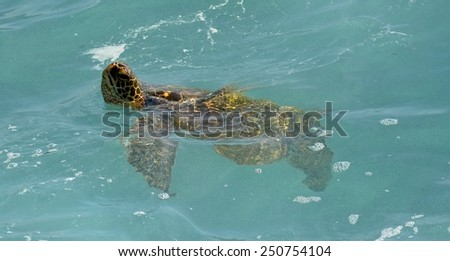 Green sea turtle  coming up for air while swimming in  poipu, kauai, hawaii - stock photo