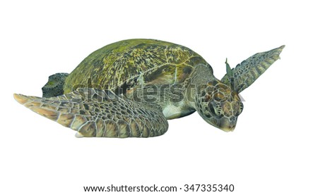 Green Sea Turtle cut out isolated white background - stock photo