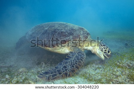 GREEN SEA TURTLE EATING GRASS IN TH BOTTOM