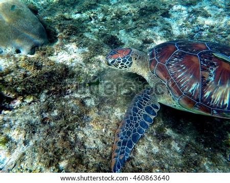 Green sea turtle eating plant in coral reef. Lovely sea turtle closeup. Green turtle swimming in the sea. Exotic animal underwater. Blue lagoon wild life. Philippines snorkeling spot - Apo