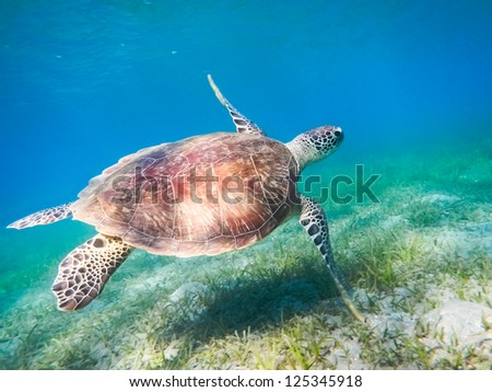 Green sea turtle. Egypt. Red Sea - stock photo
