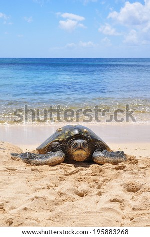 Green sea turtle on beach in Hawaii, Oahu - stock photo