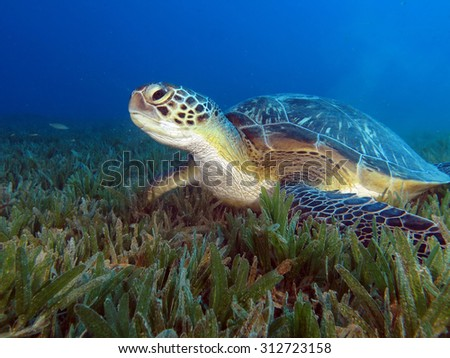 Green sea turtle on seagrass - stock photo
