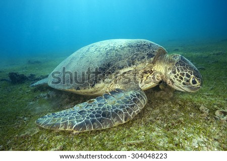 GREEN SEA TURTLE QUIET IN THE BOTTOM