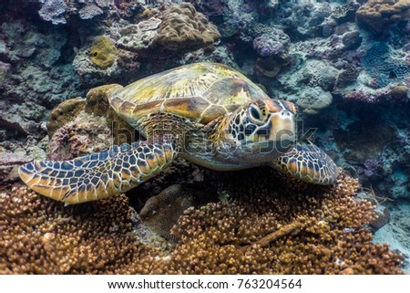 Green sea turtle resting above a coral.