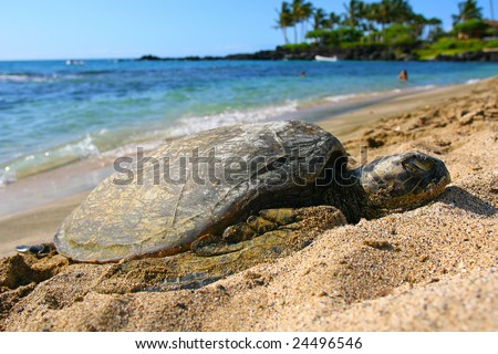 Green sea turtle resting on the sands of a Kona beach - stock photo
