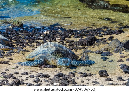 Green sea turtle resting on the volcanic rocky beach in hawaii