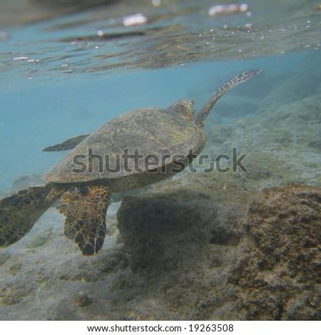 Green Sea Turtle Swimming - stock photo