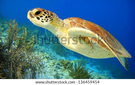 Green Sea Turtle swimming along tropical coral reef, Bonaire