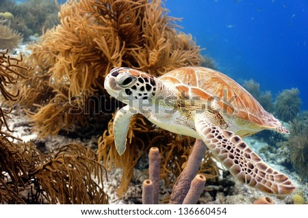 Green Sea Turtle swimming along tropical coral reef, Bonaire - stock photo