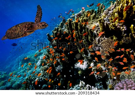Green Sea Turtle swimming along tropical coral reef, Red Sea. Egypt - stock photo