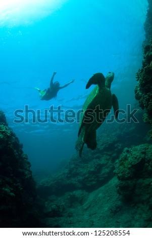 Green sea turtle swimming gracefully through the ocean - stock photo