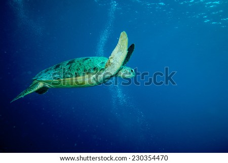 Green sea turtle swimming in Derawan, Kalimantan, Indonesia underwater photo. Chelonia mydas swim in the middle of the sea.
