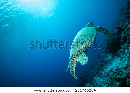 Green sea turtle swimming in Derawan, Kalimantan, Indonesia underwater photo. Chelonia mydas swim above the coral reefs.