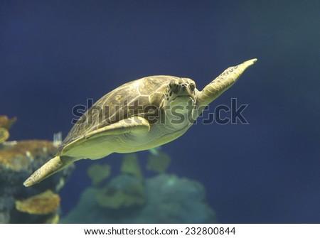 Green Sea Turtle swimming in Hawaii - stock photo