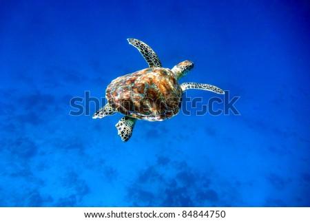 Green sea turtle swimming in the blue sea at Indonesia - stock photo
