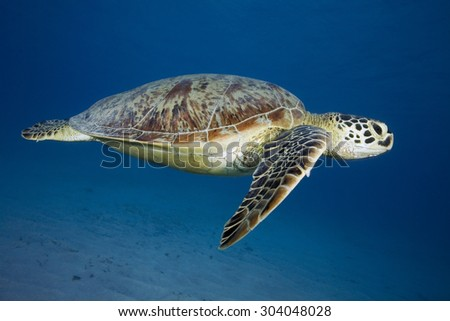 GREEN SEA TURTLE SWIMMING ON THE BLUE