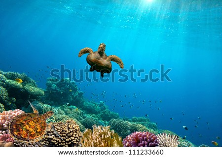 Green Sea Turtle swimming over Coral Reef, Red Sea, Egypt - stock photo