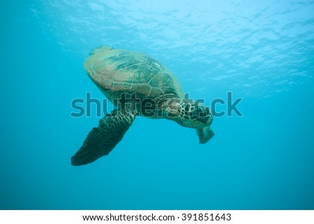 Green Sea Turtle Swimming Past the Camera Underwater