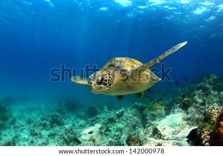 Green sea turtle swimming underwater - stock photo
