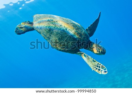 Green Sea Turtle Under Water in Hawaii - stock photo