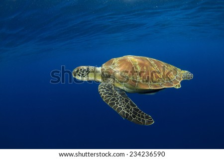 Green Sea Turtle underwater in sea beside tropical island paradise - stock photo