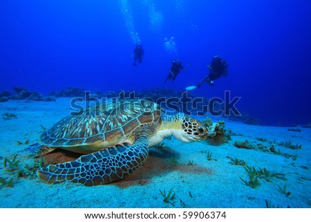 Green Sea Turtle with family scuba diving in background - stock photo