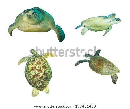 Green Sea Turtles isolated on white background - stock photo