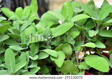 Green seasoning at the market - stock photo