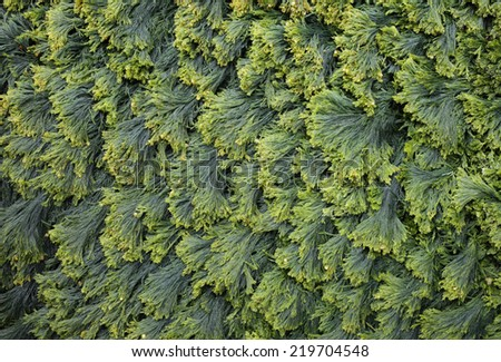 Green seaweed pattern at Norwegian coastal rock at low tide. Outdoors, daylight.  - stock photo