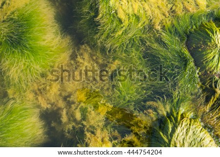 Green seaweed (ulva lactuca) on stones in sea with jellyfish