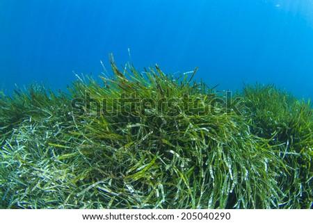 Green Seaweed underwater - stock photo