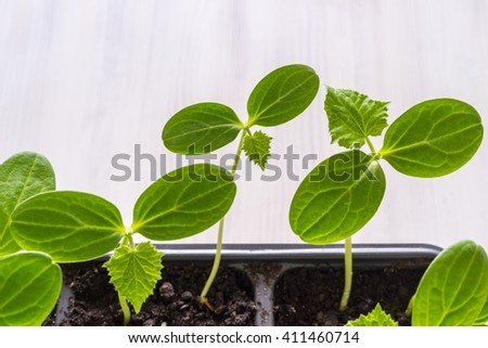 green seedling of a young plant of an agriculture with big leaves closeup