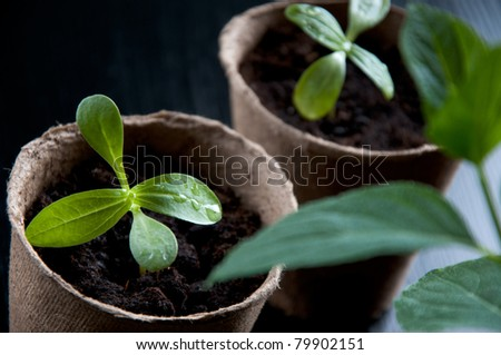 Green seedlings in peat pots