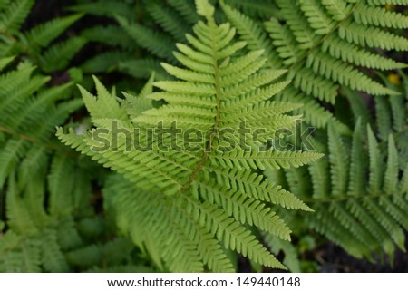 Green shade loving fern with a shallow depth of field - stock photo