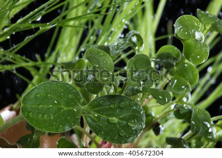 green shoots of spring grass in water drops macro lens shot on a black background - stock photo
