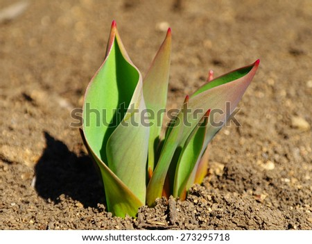 Green shoots of spring tulips on the street - stock photo
