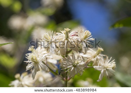 Green shrub with white flowers and bokeh lit by the sun - macro
