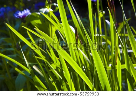 green small leaves of Lily in wonderful morning light - stock photo