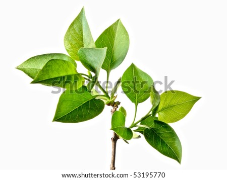 Green small leaves on the white background - stock photo