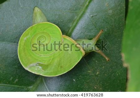 Green Snail, Rhinocochlis nasuta - stock photo