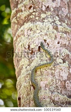 green snake climbing on coconut palm, (chrysopelea ornata) - stock photo
