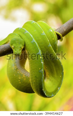 Green snake coiled around tree branch. Green Tree Python.