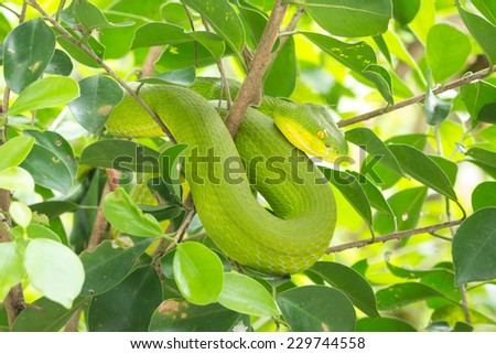 Green snake curled up on a tree, waiting to trap prey.