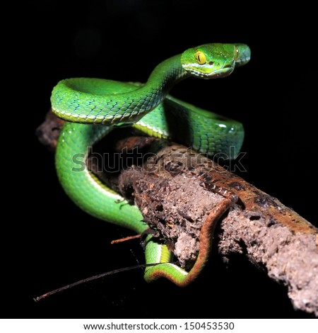 Green snake in the forest, Thailand - stock photo