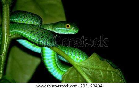 Green snake on Black background. - stock photo