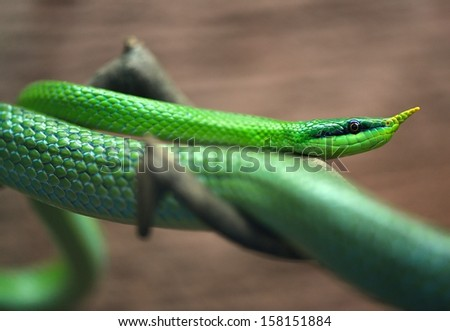 Green snake on brown branch. - stock photo