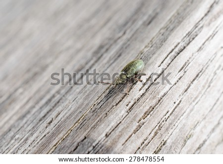 green snout beetle (wood) - stock photo