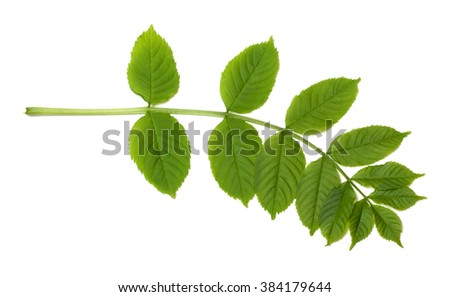 Green sorbus leaves. Isolated on white background - stock photo
