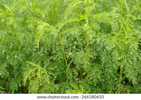 Green Southernwood (Artemisia Abrotanum) Plant - stock photo